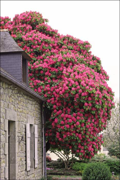 rhododendron et azal e. Black Bedroom Furniture Sets. Home Design Ideas